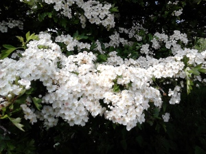 Hawthorn blossom in late spring