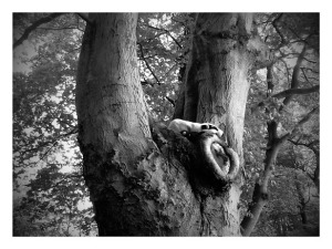 Badger up a tree